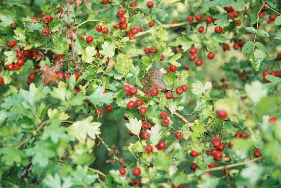 Vitamine C au jardin Aubepine04
